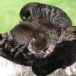 Alla fem kattungarna ett par dagar gamla
