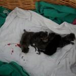 Elsas nyfödda kattungar 1 dag gamla.Blodet kommer från navelsträngarna som Elsa inte hade gnagt av utan som måste klippas. Annars hade ungarna inte överlevt.