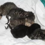 Elsas nyfödda kattungar en dag gamla