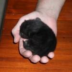 Lilla svarta Nora, nyfödd. Hon hade navelsträngen hårt runt sin fot och den måste masseras flera gånger om dagen.