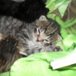 Kattungar 2 veckor