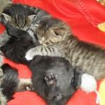 Alla tre kattungarna leker och Noras lilla svarta mage står rakt upp i luften