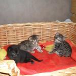 Tre underbara små kattungar i sin korg