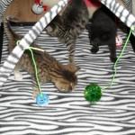 Alla kattiungarna leker i sin nya lekställning. Den är så spännande med bollar och möss att jaga