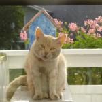 Detta är Gullan. Han kom i våras och kommer varje dag för att få mat. Sitter på balkongen och väntar. Han gillar matte. Matte tycker han är rätt söt. Vi gillar inte honom.