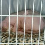 Trötta katter (detta är en Sphynx, nakenkatt)
